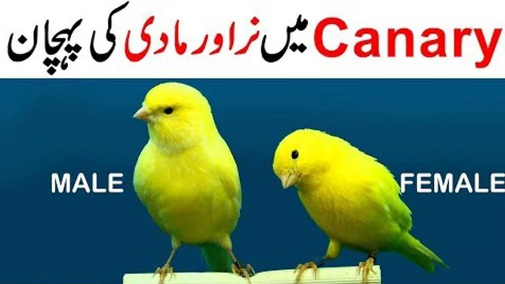canary male female difference