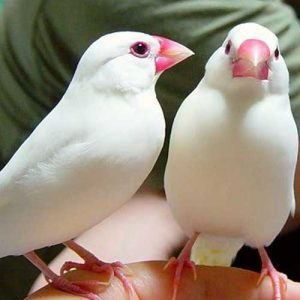 java finch for sale