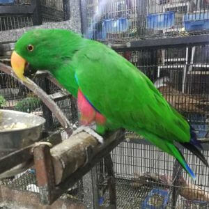 Eclectus Parrot for sale
