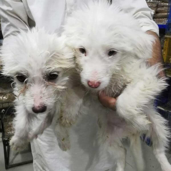 Terrier Poodle Puppies