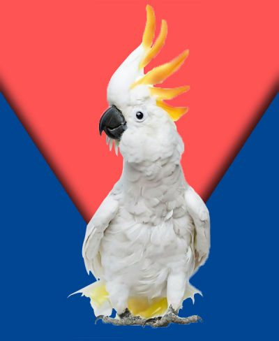 About-Cockatoo