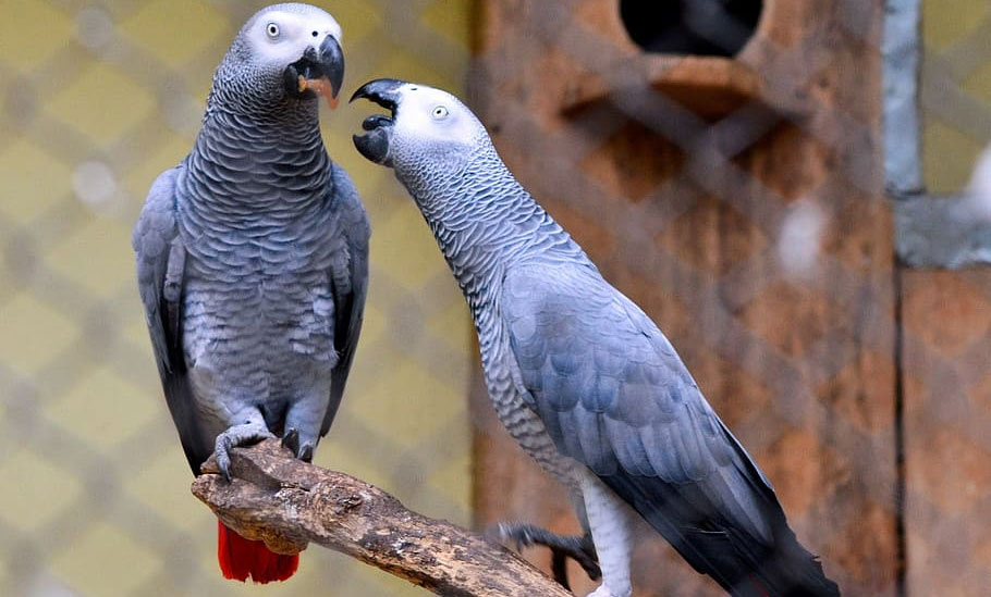 Grey-Parrot-Breeding-Tips-2020-new