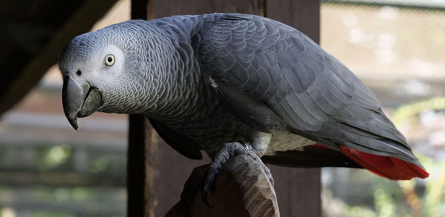 Grey Parrot Breeding Tips 2020