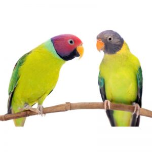 Plum Headed parakeet for sale