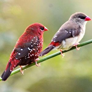 Strawberry Finch Pair